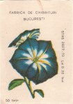 Cutie Convolvulus tricolor 1979